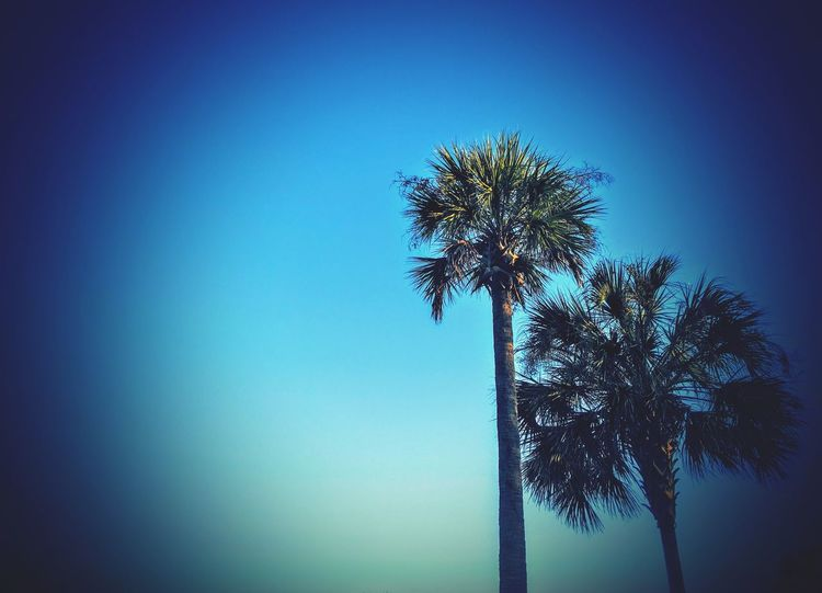 Low Angle View Blue Copy Space Clear Sky Growth Nature Palm Tree Tree No People Sky Beauty In Nature Outdoors Fragility Day Charleston SC Daniel Island, Sc Tall