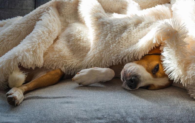 Adorable beagle dog sleeps on a sofa under blanket. selective focus