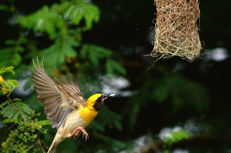 Bird hovering by nest
