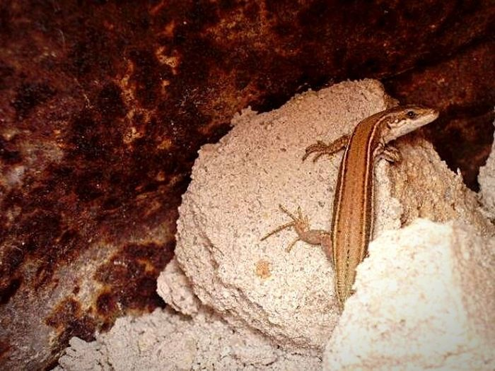 One Animal Lizards Reptilecollection Rocks