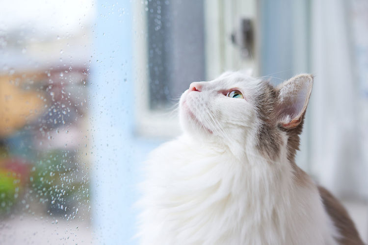 Cat looking at raindrops on window