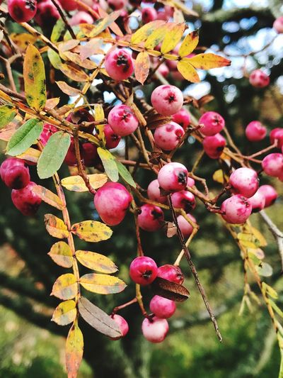 Focus Object Autumn Winter Trees Berries On A Branch Tree Close-up Nature Outdoors Ripening Fruit IPhoneography Fall Colors