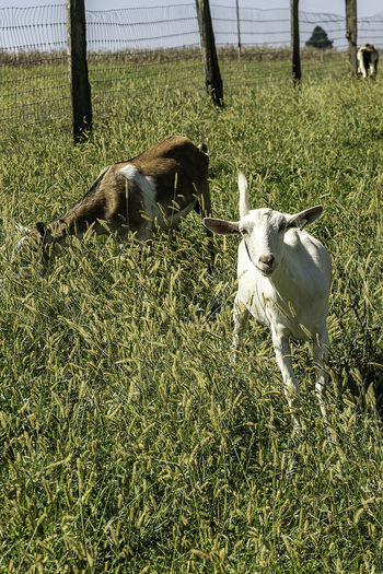 A cute goat takes time from grazing to pose for the camera. Goat Grazing Animal Animal Themes Bividae Day Domestic Domestic Animals Field Grass Green Color Group Of Animals Growth Herbivorous Land Leaf Livestock Mammal Meadow Milk Nature No People Plant Two Animals Vertebrate