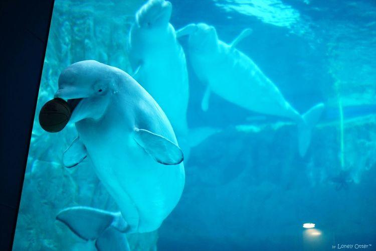 Beluga Cute Arcane White Whale Aquarium