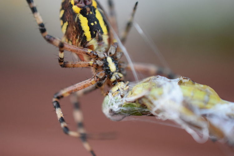 Argiope Spider Animal Leg Animal Themes Animal Wildlife Animals In The Wild Close-up Day Focus On Foreground Insect Nature No People One Animal Outdoors Spider Spider Web