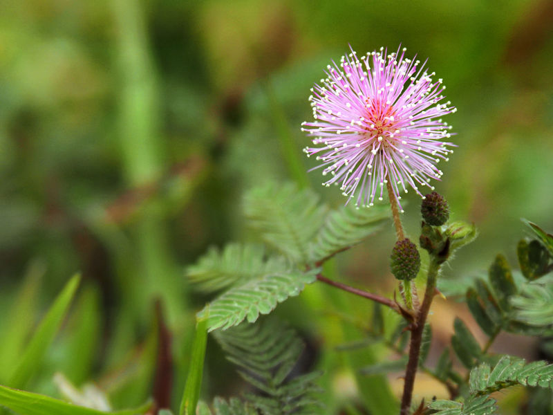 Mimosa pudica... Flower Focus On Foreground Fragility Beauty In Nature Purple Tiny Flower Flower Collection Focus Object