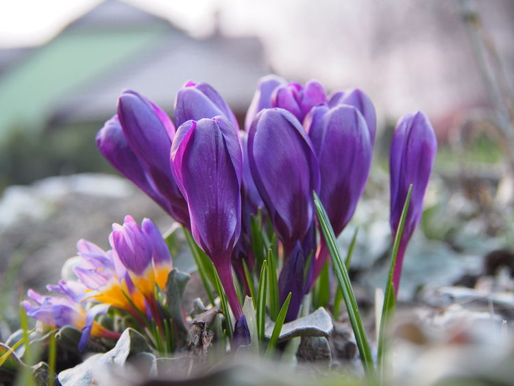Katarzyna Dziemidowicz Nature Plants Spiring Violet By Motorola Beauty In Nature Blooming Close-up Crocus Day Flower Flower Head Flowers Fragility Freshness Growth Macro Nature No People Outdoors Petal Plant Purple Selective Focus View Of Front
