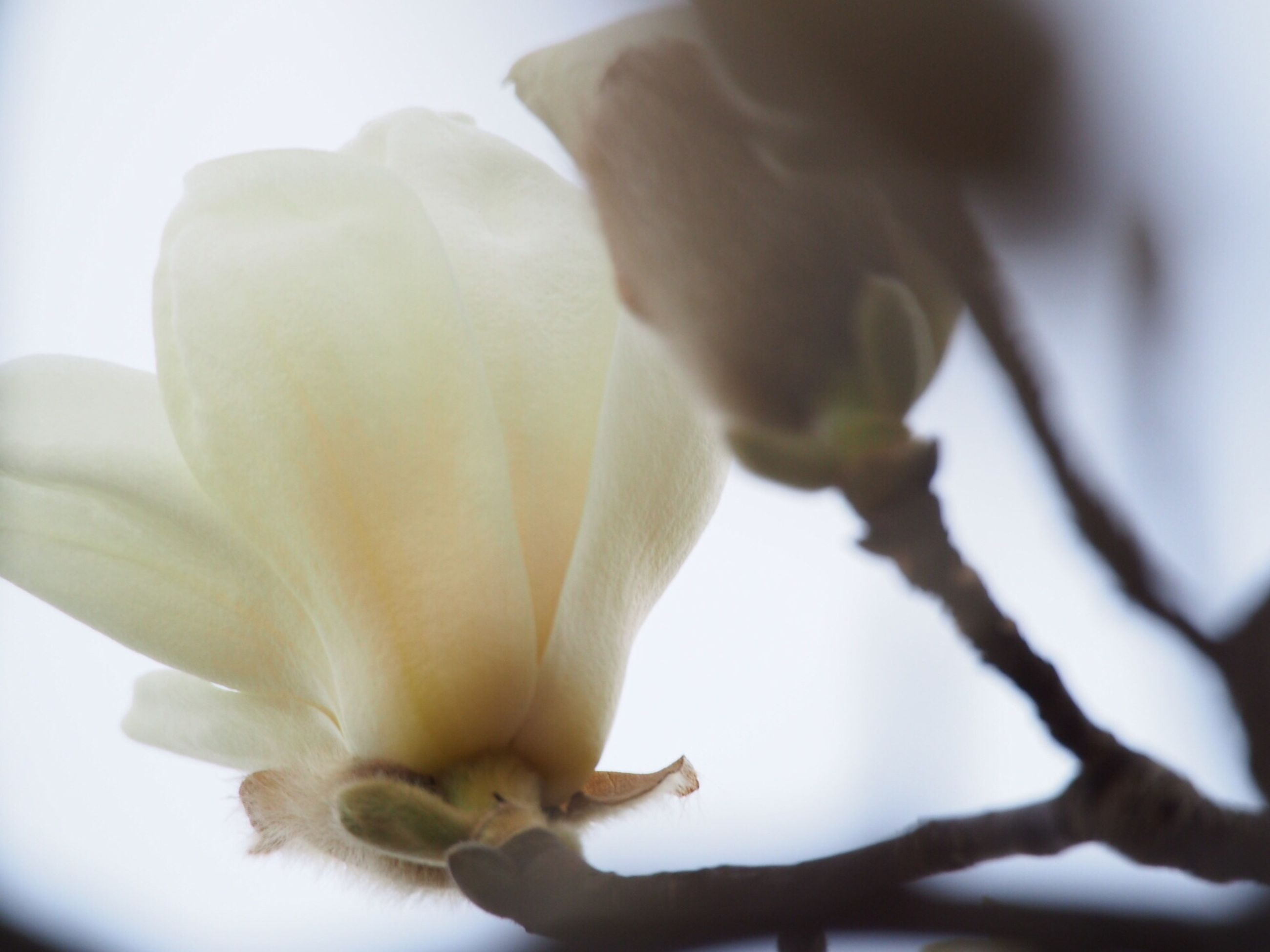flower, petal, freshness, fragility, flower head, close-up, growth, beauty in nature, nature, single flower, bud, focus on foreground, stamen, blooming, plant, selective focus, stem, white color, pollen, blossom
