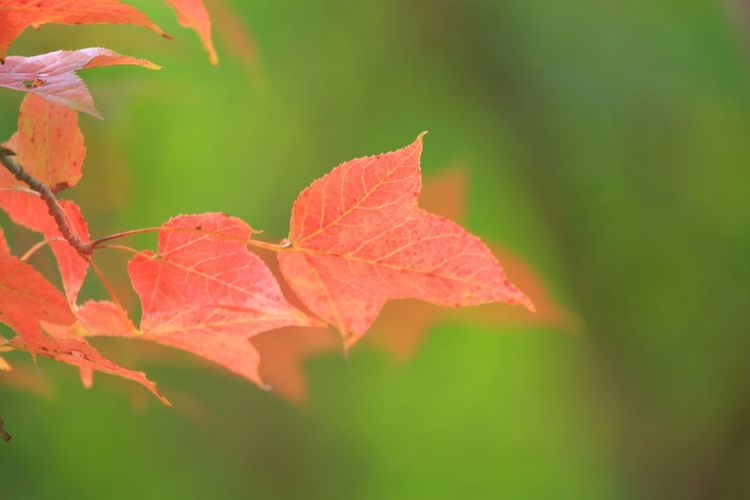 少女的紅葉 -