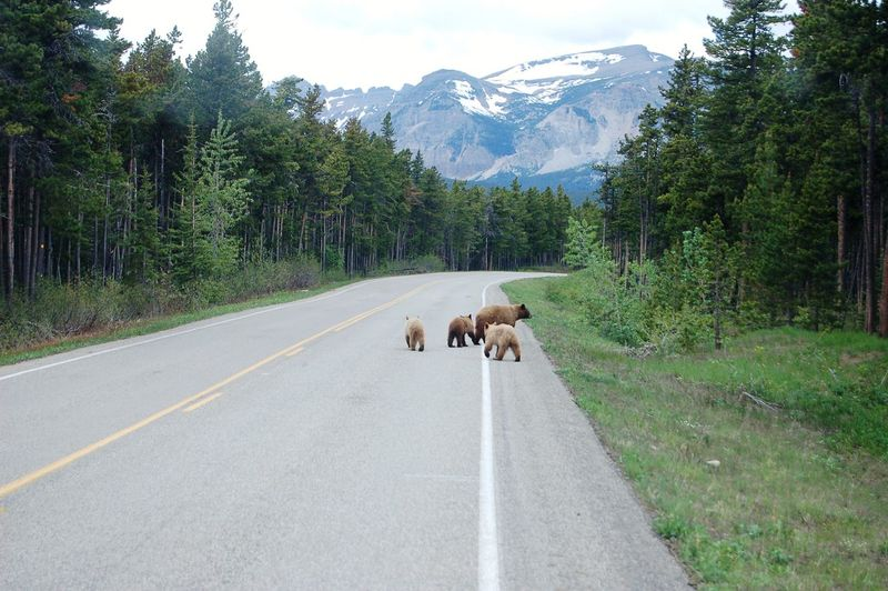 Grizzly with cubs walking on road by mountain against sky