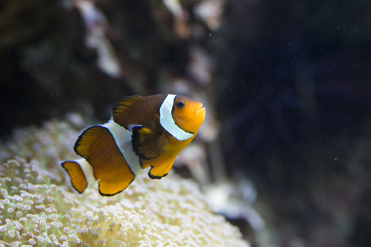Nemo Tier Animal Themes Animal Wildlife Animals In The Wild Aquarium Aquarium Life Beauty In Nature Close-up Clown Fish Clownfisch Clownfish Day Fisch Fish Focus On Foreground Indoors  Nature No People One Animal Sea Life Swimming UnderSea Underwater Unter Wasser Water Yellow