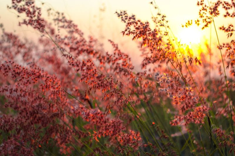 Red Flowering Plants On Field During Sunset