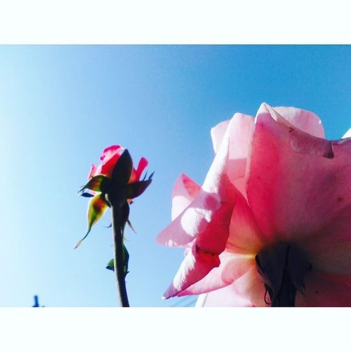 What do you think?, Photography Roses Morning Goodmorning Ethiopia Photo Photographycommunity Instagram Natgeo Langscape Flowers Home Followme African Eastafrica Photo