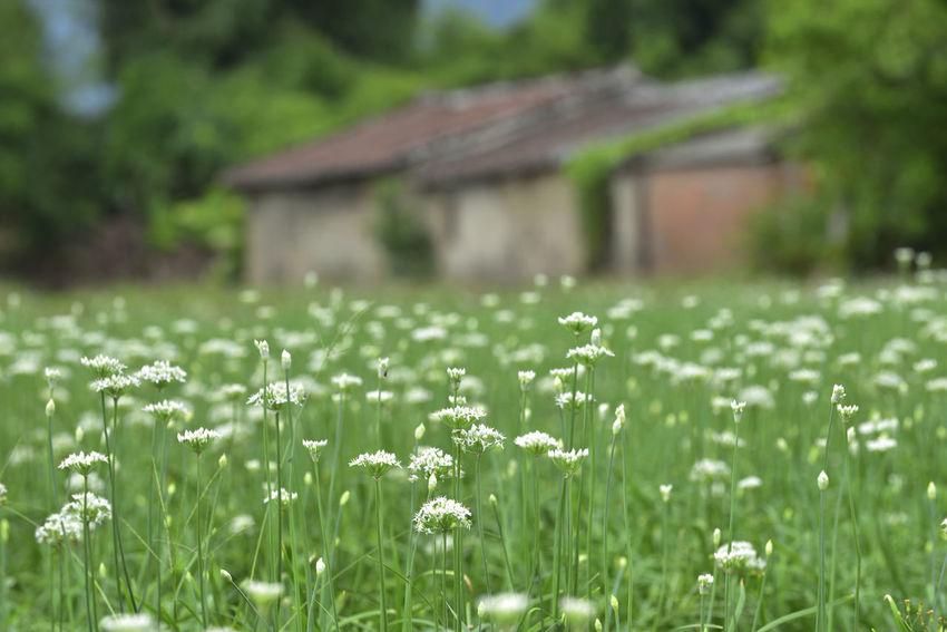 Day Field Grass Growth Nature No People Outdoors 古厝 台灣 展望 建築 建築物 懷舊 新北市 老房子 蔬菜 農作物 農業 鄉村 開花 韭菜花