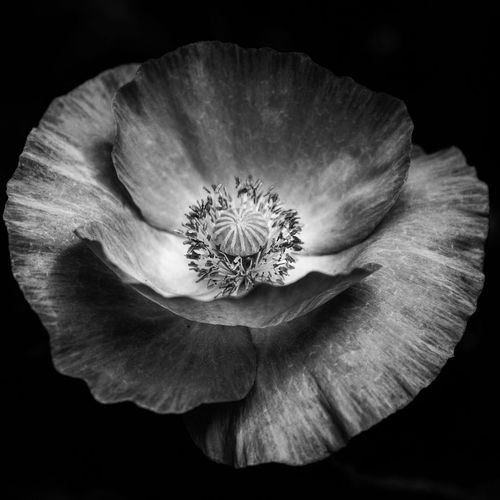 A black and white Poppy ... Flower Petal Flower Head Fragility Nature Beauty In Nature Black Background Close-up Black And White Blackandwhite Black And White Photography Poppy Poppy Flowers Poppy Love