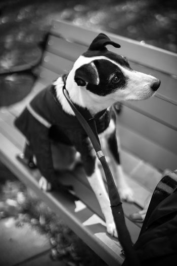 Black & White Park Bench Animal Themes Blackandwhite Photography Boston Terrier Close-up Day Dog Domestic Animals Mammal No People One Animal Outdoors Pet Clothing Pet Collar Pets Street Photography Streetphotography Bnw_collection Pet Portraits Black And White Friday