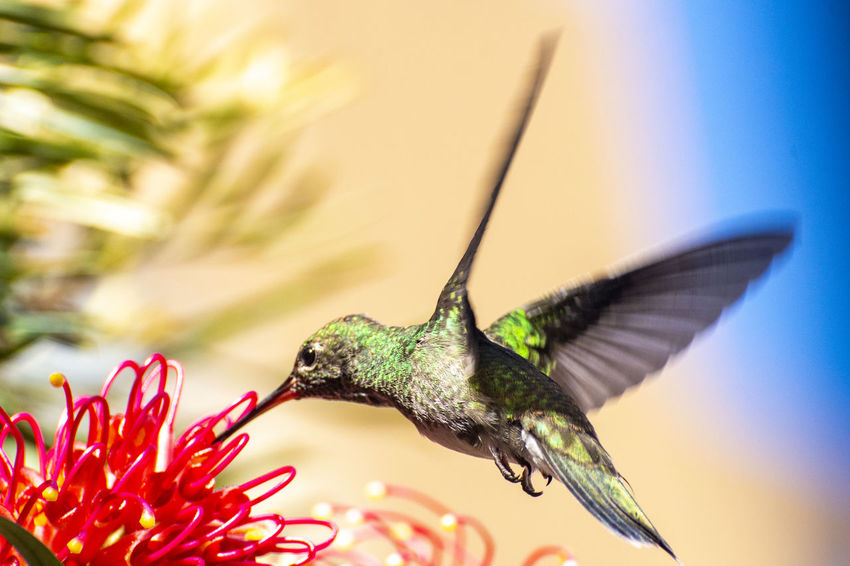 My friend the hummingbird. EyeEmNewHere Animal Animal Themes Animal Wildlife Animals In The Wild Beauty In Nature Bird Close-up Flapping Flower Flower Head Flowering Plant Flying Focus On Foreground Fragility Hummingbird Mid-air No People One Animal Outdoors Plant Pollination Spread Wings Vertebrate Vulnerability