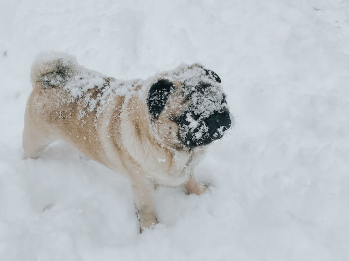 Pug Pug Life  Pugs Pug Dog Dog In Snow Snow Winter Cold Temperature Mammal One Animal Animal Animal Themes Canine Dog Pets White Color Domestic No People Nature Domestic Animals Vertebrate Day Frozen Land Outdoors Snowing Animal Head