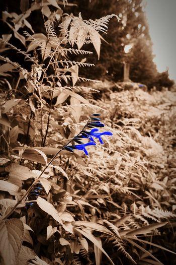 ギボウシみたいな青い花 Nature Photography 青い花 Photography Colorsplash Flower 夏の花 summer flower Summer Flowers