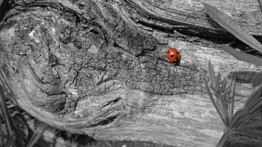 Colorsplash Nature Ladybird