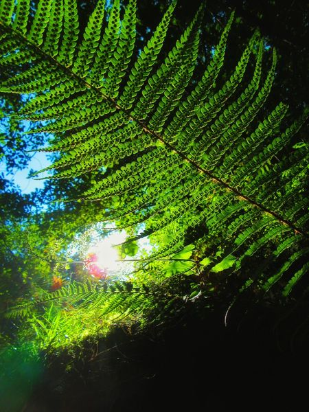 Fern leaf backlit in the dark forest Backlit Beauty In Nature Botany Day Fern Leafs Forest Full Frame Green Green Color Greenery Growth Lens Flare Low Angle View Lumicar Lush Foliage Nature Outdoors Scenics Sky Tall The Magic Mission Tranquil Scene Tranquility Tree