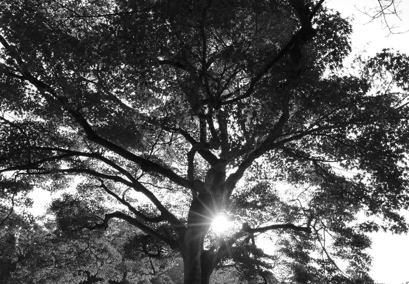 Tree Low Angle View Growth Sunbeam Branch Nature Sun Monochrome Sky Tree Trunk Outdoors No People Beauty In Nature Day