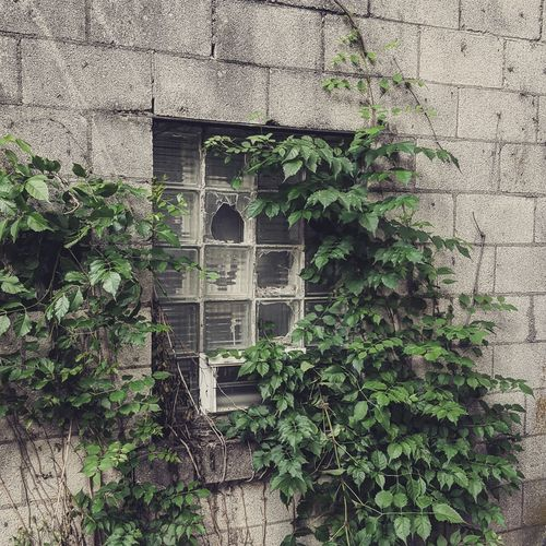Architecture Built Structure Ivy Green Color Building Exterior Day Plant Window Growth No People Creeper Plant Outdoors Tree Leaf Nature Close-up