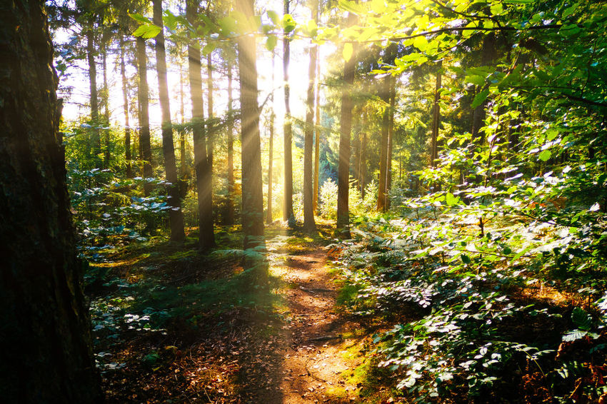 Beauty In Nature Day Environment Forest Growth Land Nature No People Non-urban Scene Outdoors Plant Scenics - Nature Streaming Sunbeam Sunlight Tranquil Scene Tranquility Tree Tree Trunk Trunk WoodLand