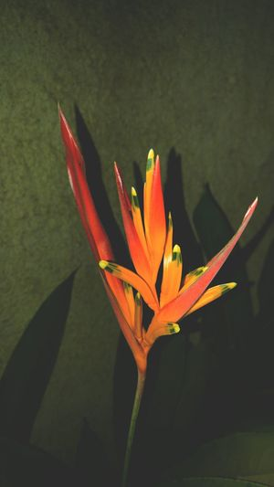 Night photography 🌷 Flower Beauty In Nature Orange Color Close-up Growth Tropical Flower Fragility Bird Of Paradise - Plant Flower Head Tadaa Community Brasil Mobile_photographer Lg G4 Photography EyeEm Gallery Naturezaperfeita Nature_collection Eye4photography