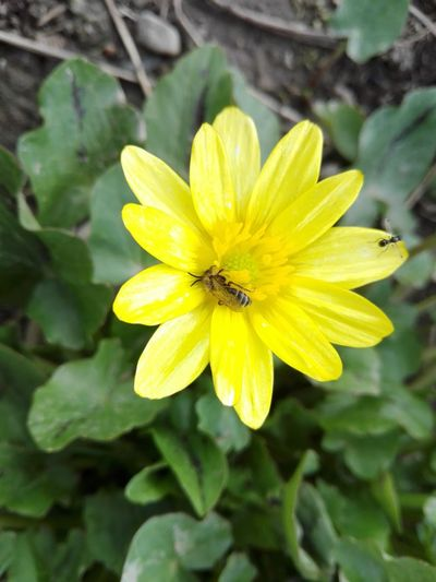 Bee Albina Albinuta Flower Petal Plant Fragility Yellow Flower Head Nature Outdoors Beauty In Nature Leaf Blossom Freshness Insect Growth No People Day