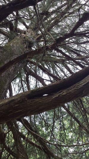 Cedar Tree Tree Enjoying Life Enjoying Nature Beautiful Natural Nature The Purist (no Edit, No Filter) Eyeemphoto