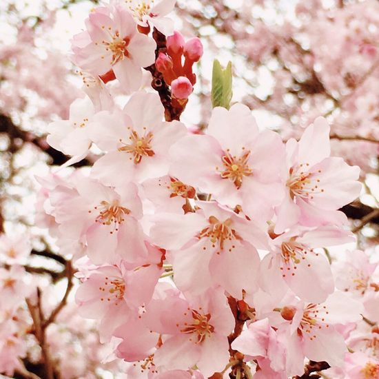 ❀桜❀ Cherry Blossom 大好きな花 Flower Flowering Plant Plant Pink Color Fragility Blossom Vulnerability