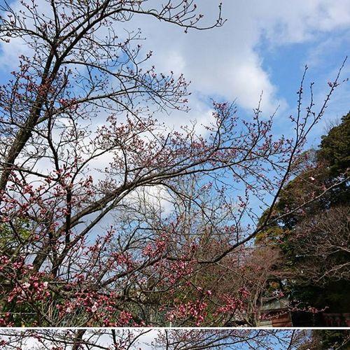 桜はまだや 桜 また つぼみ Sakura