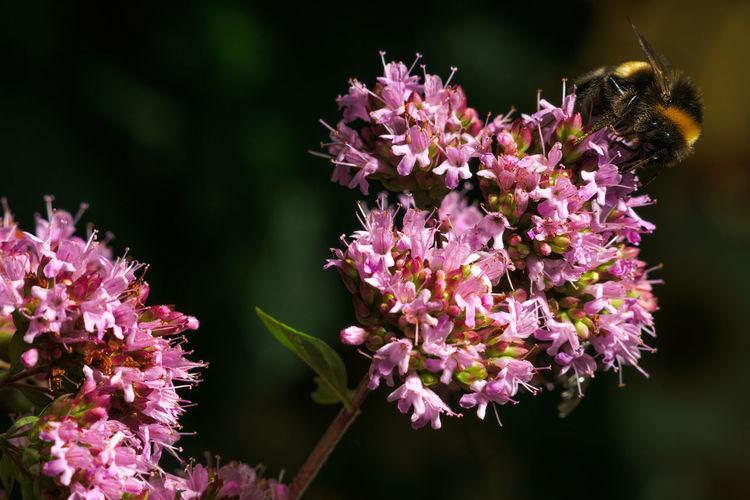 Bumblebee on