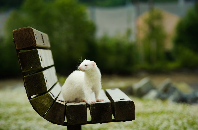 Albino ferret sitting on park bench Animal Animal Themes Day Outdoors No People One Animal Ferret Albino Bench Park White Background Albino Ferret