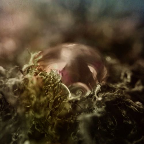 Nestled in the moss, a tiny drop of glycerol, like a Rose gold pearl the faeries left behind. shot with Camera+, edited in Filterstorm and Stackables. Macro Watedrops Waterdrop Moss