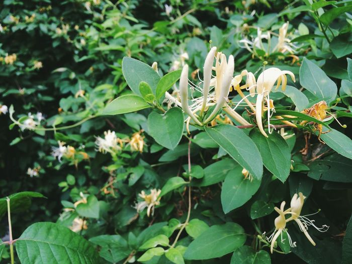 Plant Leaf Flower Green Color Nature Growth No People Outdoors Day Beauty In Nature Close-up Fragility Freshness Flower Head Honeysuckle