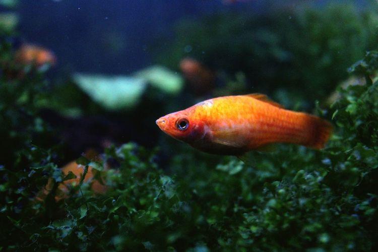 Close-Up Of Orange Fish Swimming In Water