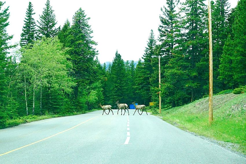 the elk family Banff  Alberta Canada Road Tripping Abventure Travel Exploring Peaceful On The Road Elks Family Animals Nature
