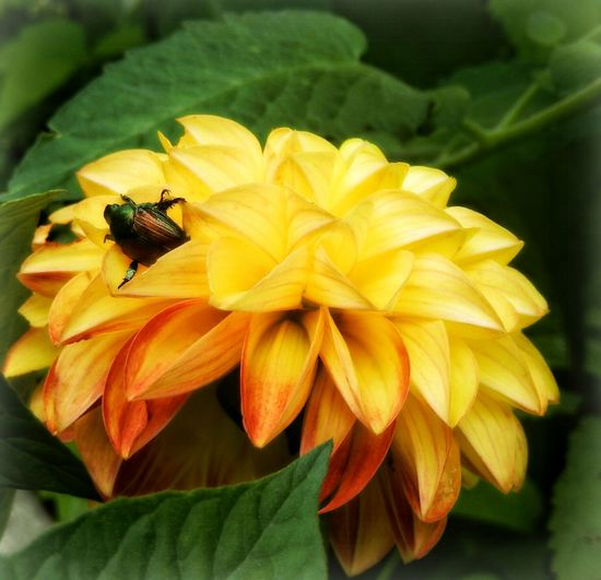 Yellow Macro Nature JuneBug EyeEm Best Shots - Nature Summertime CountryLivinG EyeEm Nature Lover EyeEm Best Shots Happigramma Thesmallestlittlethings Eyeemthisweek Myperspective Iseeinpictures Everythingisbeautiful Godsartwork No People Passingthrough  Summersplendor Vibrant Color Flower Fragility Beauty In Nature Alamy Image Gettyimages junebug