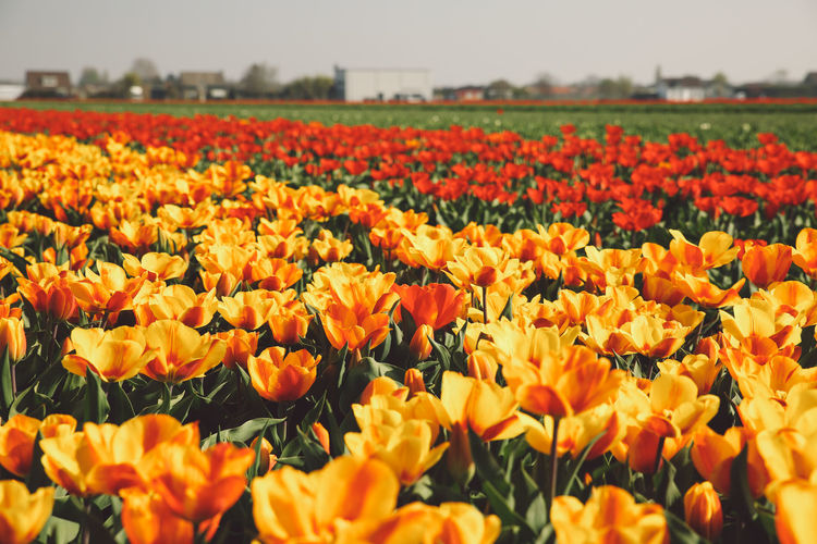 Close-Up Of Orange Tulips Blooming In Field