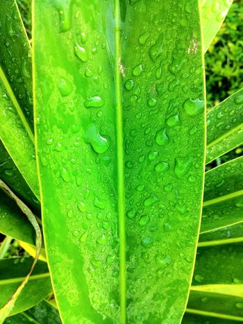 Leaf Green Color Nature Growth Plant Day Close-up Outdoors No People Freshness Beauty In Nature Fragility Tree IPhone Photography Zenfone Photography Dew Let's Go. Together. Mobile Photography Beauty In Nature Dew On Leaves Mroning Dew Drops Nature Dewdrops_Beauty Freshness