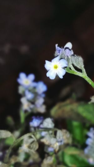 Bucks County Pennsylvania Delicate Bloom Forget Me Nots Blue Flowers Flowerporn Blue Wave My Quirky Style