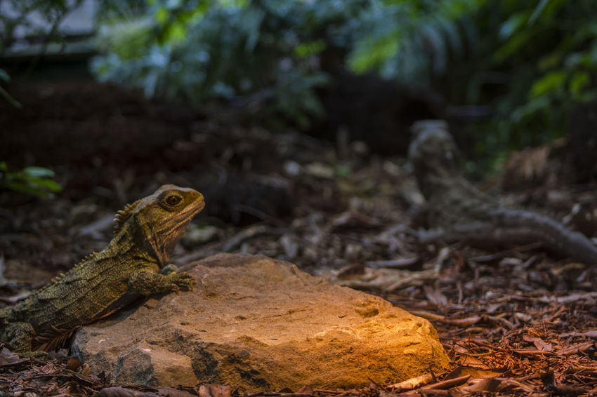 Tuatara in captivity. Tuatara is the only survivor of an extinct group of reptiles that lived during the age of the dinosaurs Dinosaur Endangered  Native Reptile Tuatara Ancient Civilization Animal Animal Scale Animal Wildlife Endemic Endemic Species Enviornmental Extinct Living Fossil Nature New Zealand No People Prehistoric Prehistoric Creature Prehistoric Era Protected Reptile Reptile Photography Survivor Wild