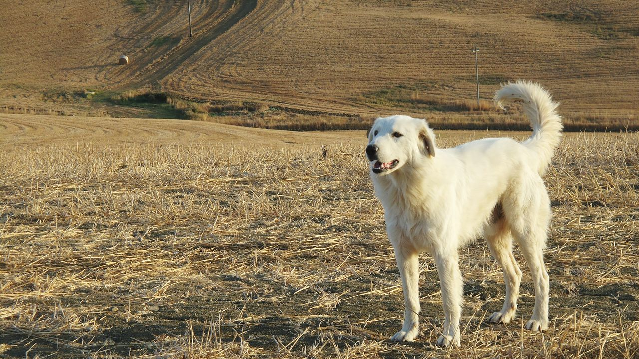 mammal, domestic animals, domestic, pets, animal themes, animal, one animal, dog, canine, vertebrate, land, field, landscape, no people, day, environment, nature, white color, plant, standing