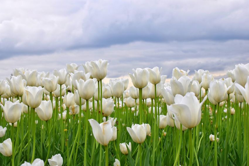 🌸 Flower series 🌸 Flower Nature Growth Petal Beauty In Nature Fragility Plant Freshness White Color Field Flower Head No People Tulip Snowdrop Day Blooming Outdoors Close-up Sky Tulips Tulips🌷 White Tulips Tulips Flowers Beauty In Nature Clouds And Sky Perspectives On Nature