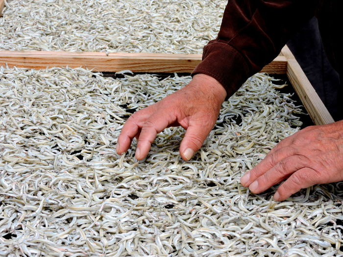 Drying Fish Hands At Work Japanese Food Quality Control Shirasu Trays WHITEBAIT Working