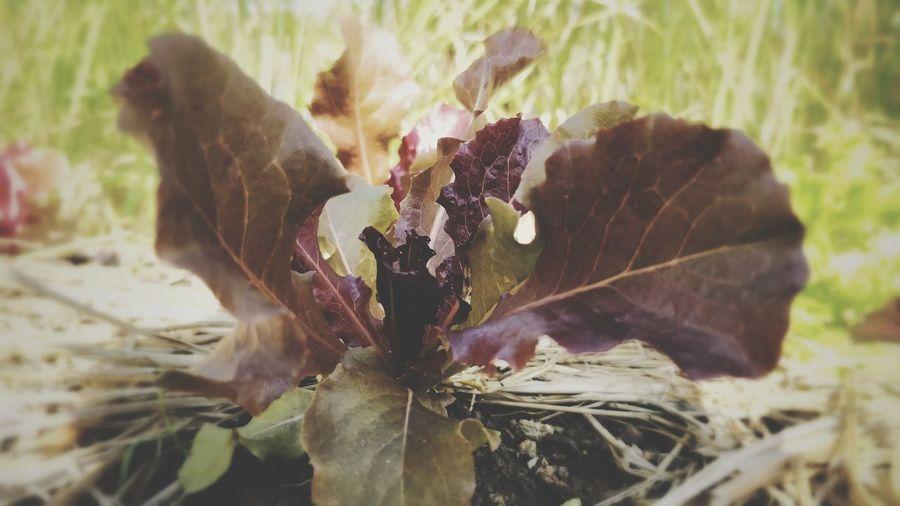 Red Oak Red Oak Leaves Salad Vegetables Leaf Nature Plant Beauty In Nature