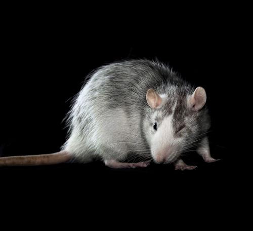 Dagi winks Animal Themes Black Background Domestic Animals Husky Pet Rat Rodent Winking