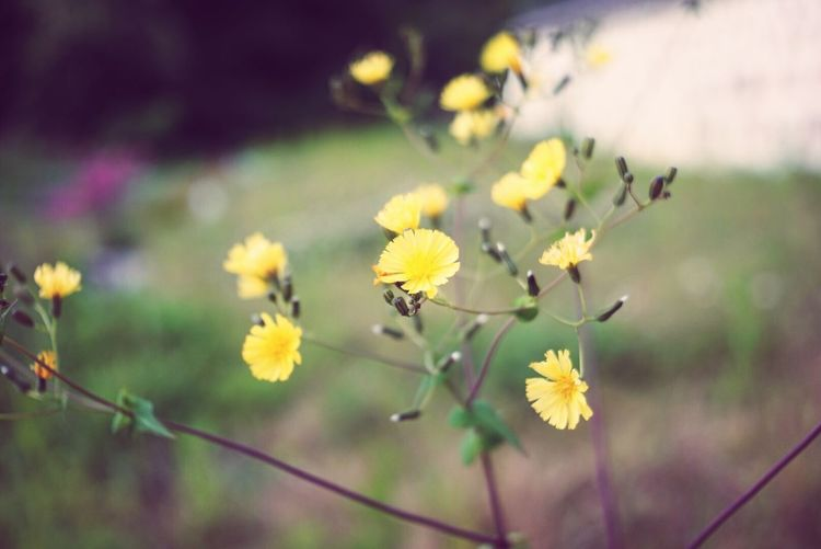 Flower Yellow Plant Nature Growth Beauty In Nature Fragility Petal No People Outdoors Freshness Flower Head Close-up Day Blooming Industar69 28mm Lens